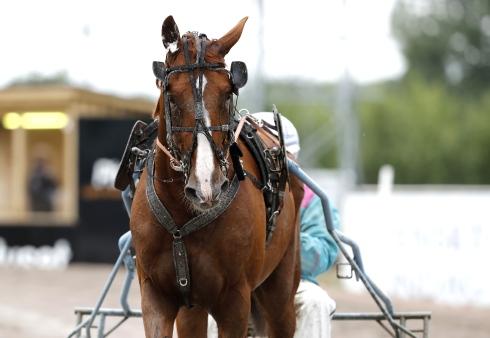 Fuxige Turno di Azzurra blir att räkna med i gulddivisionen på lördag. Foto: Micke Gustafsson, TR Bild  Foto av Micke Gustafsson, TR Bild